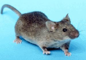 Домашна мишка
