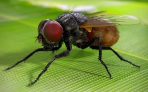 домашна муха
