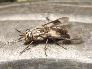 еленова муха