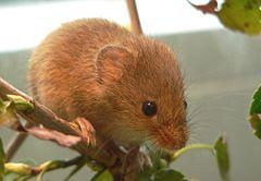 Оризищина мишка
