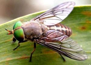 конска муха