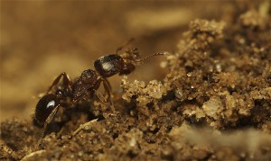Тротоарни мравки