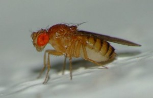плодова мушица