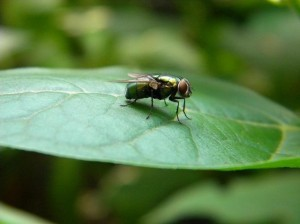 зелени мухи