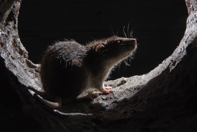 brown-rat-in-sewer11
